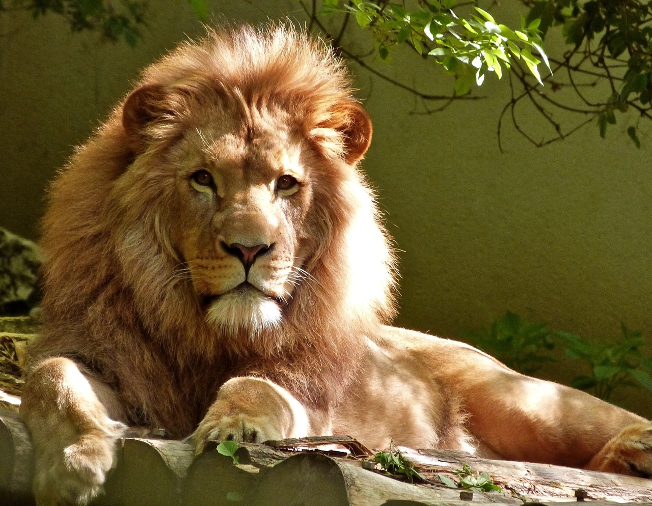 animal-carnivore-feline-247502